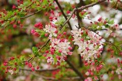 Ljusa körsbärsröd blomning och knoppar Royaltyfri Bild