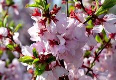 Ljusa körsbärsröda blomningar Royaltyfri Foto