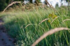 Ljusa klara spikelets i morgonsolljuset på bakgrunden av ett sommarfält av lösa örter slapp fokus royaltyfria bilder
