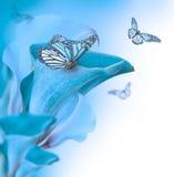 Ljusa knoppcallas, blom- bakgrund Royaltyfri Foto