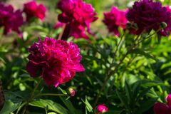Ljusa kulöra Fuschia Flowers i blom Arkivfoto