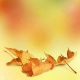ljusa leaves för höst arkivbilder