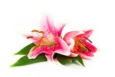 ljusa liljar två Royaltyfria Foton