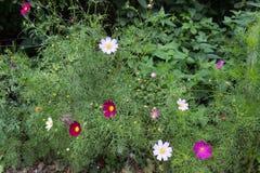 Ljusa ljusa mång- kulöra kosmosblommor med åtta kronblad och en gul mitt på en oavkortad blom för stam i sommar i trädgårdwina Arkivfoton