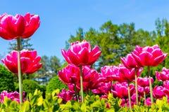 Ljusa lyxiga röda tulpan på höga ben som växer i en frodig matta på blomsterrabatten Stort val för en favorit- gåva arkivfoto