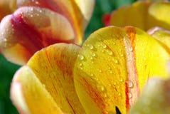 Ljusa mångfärgade tulpan i trädgården arkivfoton