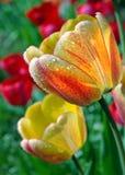 Ljusa mångfärgade tulpan i trädgården arkivbilder