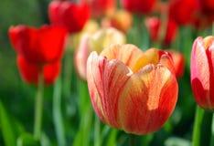 Ljusa mångfärgade tulpan i trädgården Närbild arkivbilder