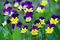 Ljusa mångfärgade violets i trädgården just rained pensétexturbakgrund royaltyfria foton