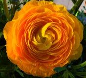 Ljusa Mariold i blom Fotografering för Bildbyråer