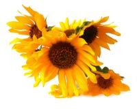 Ljusa mjuka luftkronblad flög runt om den gula solrosen nytt I royaltyfri illustrationer