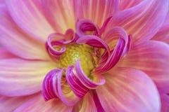 Ljusa nära övre krökta kronblad för rosa färger och för guling av blomman fotografering för bildbyråer