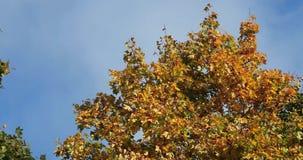 Ljusa och färgrika sidor på filialerna i hösten mot den blåa himlen arkivfilmer