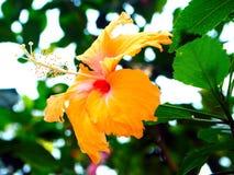 Ljusa orange hibiskusblommablomningar royaltyfria bilder