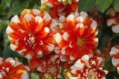 Ljusa orange och vita kulöra dahliablommor royaltyfri bild
