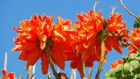Ljusa orange tropiska blommor i kanariefåglarna Royaltyfria Foton