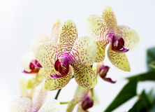 Ljusa orkidér för gul fläck Royaltyfri Fotografi