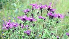 Ljusa purpurfärgade blommor av den lösa tisteln stock video