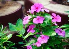 Ljusa purpurfärgade blommor av vintergrönan i sommarträdgården royaltyfri fotografi