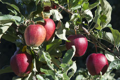 Ljusa röda äpplen Arkivfoto