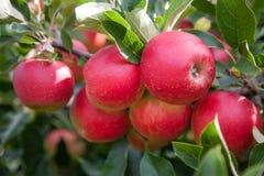 Ljusa röda äpplen Arkivbild