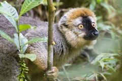 Ljusa röda ögon på en guld- bamoomakistående i Madagascar djurliv arkivfoton