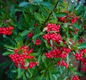Ljusa röda bär av bearberrycotoneasteren, dammeri med gröna sidor arkivfoton