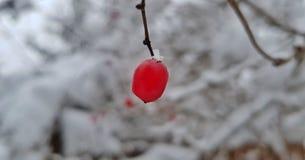 Ljusa röda bär av viburnumen i snöslutet upp mot bakgrunden av vinterlandskapet royaltyfri bild