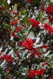 Ljusa röda bär samla i en klunga mot mörker - gröna vintergröna sidor arkivfoton