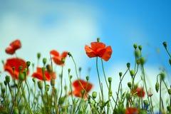 Ljusa röda blommavallmo på himmelbakgrunden Fotografering för Bildbyråer