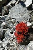 Ljusa röda blommor på stenar Royaltyfria Bilder