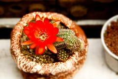 Ljusa röda blommor som blommar på facklakaktuns Fotografering för Bildbyråer