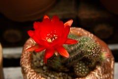 Ljusa röda blommor som blommar på facklakaktuns Arkivbild