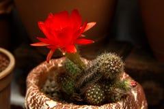 Ljusa röda blommor som blommar på facklakaktuns Royaltyfri Fotografi