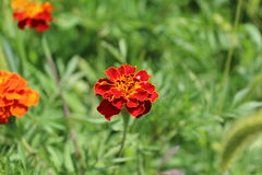 Ljusa röda blommor växer i fältet Arkivfoto