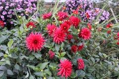 Ljusa röda dahliablommor och violetta aster i den oavkortade blomningen för trädgård royaltyfria foton