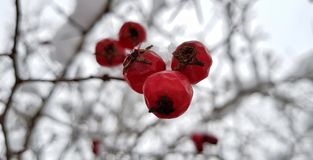 Ljusa röda hagtornbär som täckas med vit snö på en snöig bygata på en frostig vinterdag arkivbilder