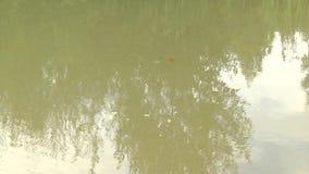 Ljusa röda Koi fiskar simmar i ett öppet damm, rött, vit och orange fisk i öppet vatten lager videofilmer