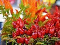 Ljusa röda kyliga peppar Arkivfoton