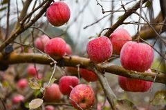 Ljusa röda organiska äpplen Royaltyfria Bilder