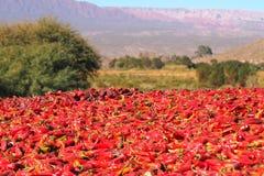 Ljusa röda peppar som torkas i den intensiva argentinska solen fotografering för bildbyråer