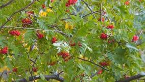 Ljusa röda rönnbär som svänger vind arkivfilmer