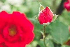 Ljusa röda rosor med knoppar på bakgrunden av en grön buske arkivbilder