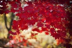 Ljusa röda sidor på filialer i nedgång Royaltyfria Foton