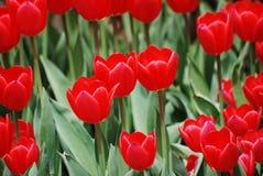 Ljusa röda tulpan i en trädgård på en vårdag Royaltyfri Foto