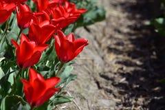 Ljusa röda tulpan i ett lantgårdtulpanfält i Holland royaltyfri bild