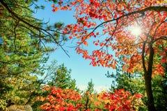 Ljusa röda Autumn Leaves i solljus Arkivbild