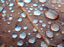 Ljusa regndroppar på ekbladet Arkivbild
