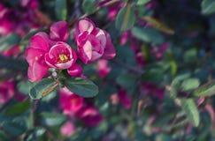 Ljusa rosa blommor av den japanska kvitten och laves på ett suddigt mörkt - grön bakgrund kdrop arkivfoto