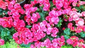 Ljusa rosa färgblommor Royaltyfri Fotografi